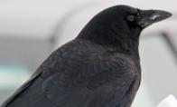 Varnos yra labai kerštingi paukščiai