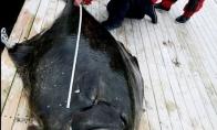 Norvegijoje sugautas didžiausias Atlantinis paltusas pasaulyje