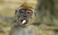 Žalingi beždžionių įpročiai