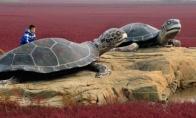 Raudonas Kinijos paplūdimys