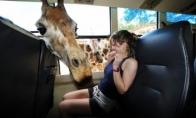 Draugiška žirafa