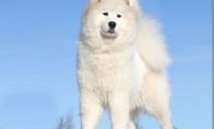 Sniego baltumo laimė