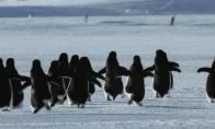 Animuoti pingvinų paveiksliukai