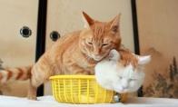 Dvi katės viename krepšyje