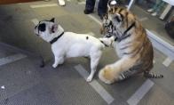 Tigras užpuolė prancūzų buldogą!