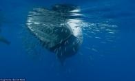 Pietaujantis banginis vos neprarijo fotografo