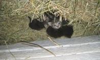 Višta įsivaikino kačiukus