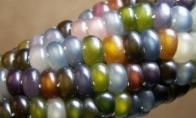 Tikra kukurūzų rūšis
