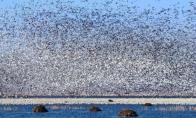 Neįtikėtina žąsų migracija