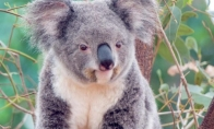 Kaip atrodo šlapia koala