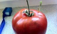 Pamirštas pomidoras