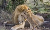 Liūtukai neatstoja nuo savo tėvo