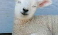Neįtikėtinai mieli avinėliai