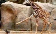 Besispardančios žirafos