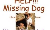 Šuniukas dingo