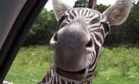 Paskui zebrą!