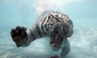 Jūrų tigras