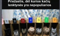 Kodėl kačių lenktynės yra nepopuliarios