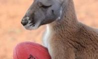 Naminė kengura beveik tapo žmogumi