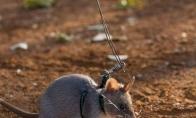 Žiurkės pionerės