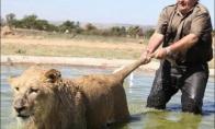Prausiam liūtuką