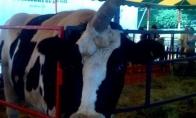 Karvė - vienaragis (6 nuotraukos)