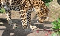 Bandymas apiplėšti leopardą (4 nuotraukos)