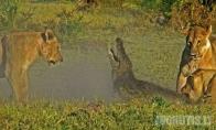 3 liūtai vs krokodilas (9 nuotraukos)