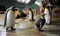 Pingvinas hidro kostiume