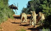 Antilopė ir trys alkani liūtai