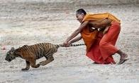 Tigrų šventykla ir jų draugystė su vienuoliais