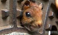 Voverės gelbėjimo operacija