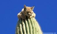 Lūšis ant kaktuso
