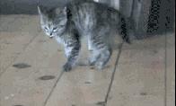 Juokingi kačiukų GIF'ai