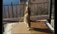 Berazūmė katė