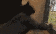 Gyvūnų parkūro GIFai