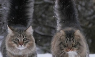 Suomiškos katės su įspūdingu kailiuku