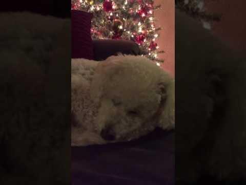Šeimininkė daina užmigdo šunį