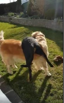 Intensyvi šunų kova