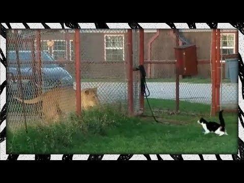 Drąsus katiniukas prieš liūtą