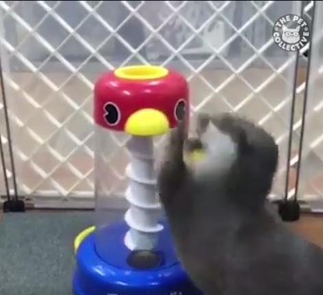 Ūdra žaidžia su žaisliuku