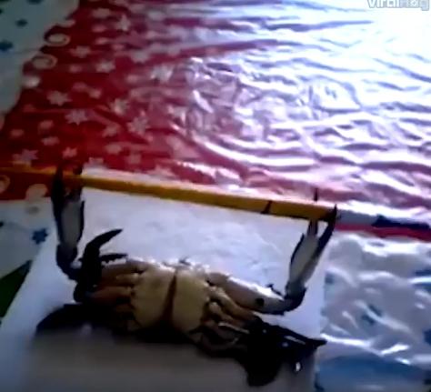 Stipriausias krabas pasaulyje