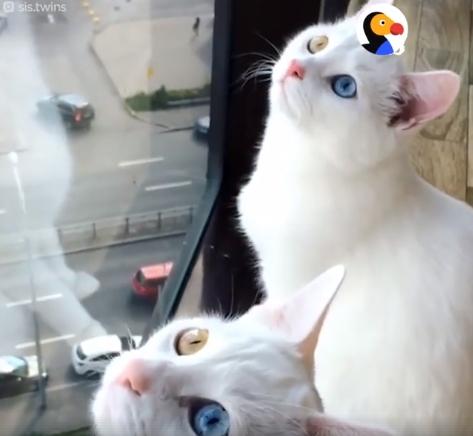 Katės dvynės su nuostabiomis akimis