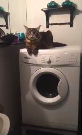 Drebanti katė