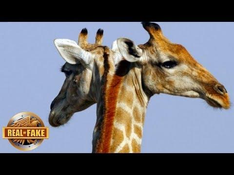 Žirafa su dviejomis galvomis