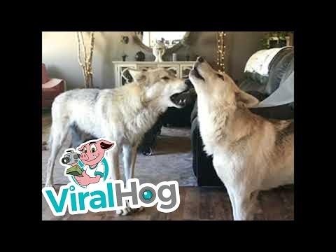 Vilkai staugia namuose