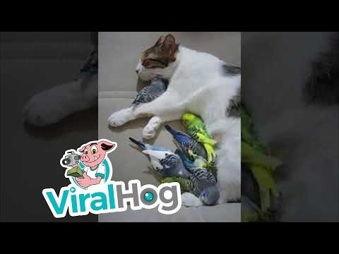Katinas nevalgo paukštienos