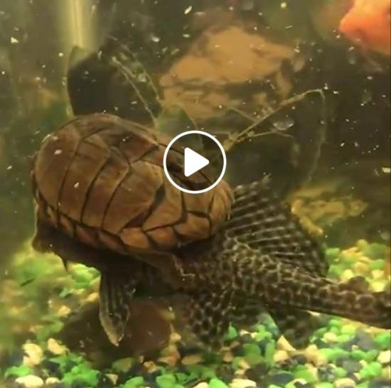 Vėžlys pasibalnojo žuvį