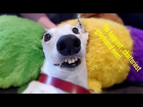 Begalo laimingas šuo