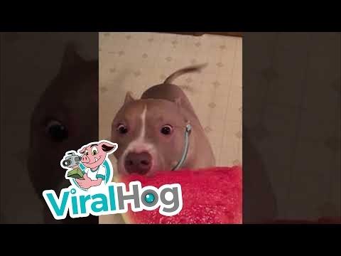 Šuo dievina arbūzą